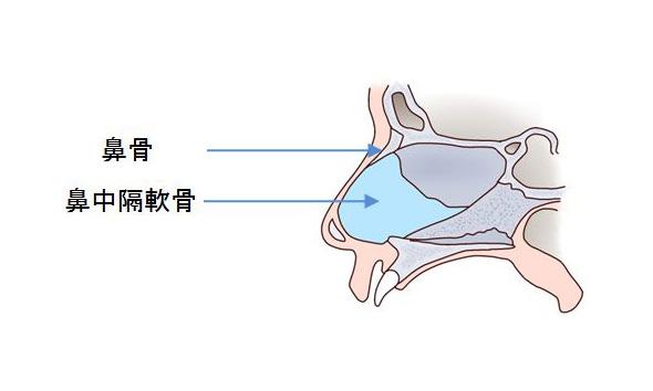横から見た鼻の断面図
